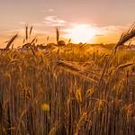 Cape Elizabeth Wheat Field, Cape Elizabeth, Maine